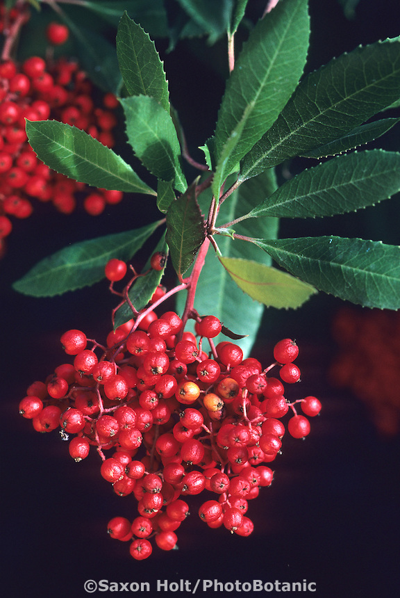 Heteromeles arbutifolia - Toyon or Christmas Berry