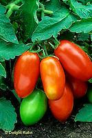 HS09-035b  Tomato - paste tomato, LaRossa variety