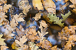 Digital art of oak leaves floating in a puddle, form a original photograph