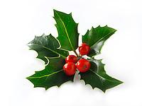 Christmas Holly leaves & berries