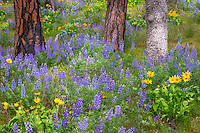 Columbia Gorge National Scenic Area,  OR<br /> Lupine and balsam root surround trunks of ponderosa pine trees at the Rowena Crest, Tom McCall Nature Preserve at Rowena Crest