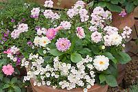 Dahlia Dahlietta Louise + Dahlia Dahlietta Grace ? + Verbena Aztec Light Pink + Diascia Whisper White + Nemesia Aromatica Rose Pink in pot container garden
