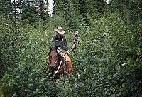 Sure-footed mustangs wade through thick brush carrying officers from Whitefish MT Border Patrol, Spokane Sector.  They obtained four prison trained mustangs to ride rough back country to secure our northern border west of Glacier National Park to Canada.  They ride when they can to deter drug smuggling and illegals coming across the border.   James Perkins, Jeff Jude, Kevin Orr, Shawn Flannery rode the mustangs.