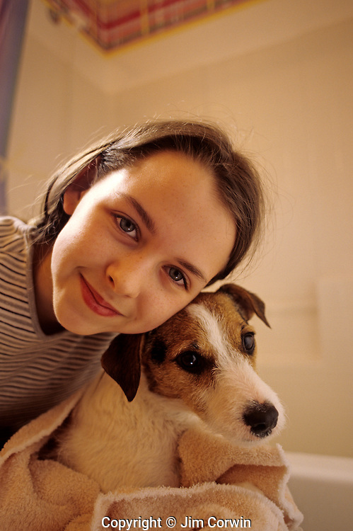 Jack Russell Terrier being held by girl wrapped in towel after getting a bath  Marysville Washington State USA.