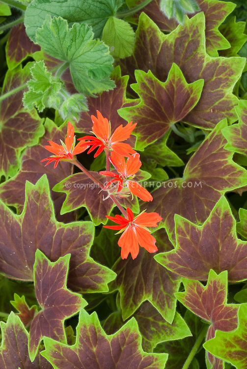 Annual geranium Pelargonium 'Vancouver Centennial' in red flower with ornamental foliage leaves red with green edging