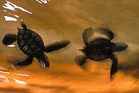 Baby Hawaiian green sea turtles
