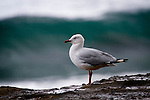 "larus novaehollandiae, silver gull. ....I've been slagged off by folk in New Zealand and Australia for photographing such nondescript and common species as the red and silver gulls, and the ibis.....The truth is, I'm not someone who lusts after the uncommon - I think there's a greater challenge in illustrating the beauty in ""everyday"" animals."