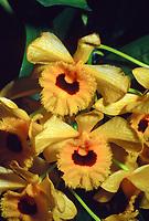 Dendrobium fimbriatum var occulatum, orchid species, fringed gold and yellow lip, very fragrant native of Vietnam