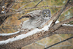 Great gray owl perched on a snow-covered branch in Jackson Hole, Wyoming.