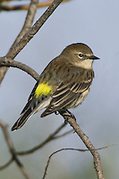Yellow-rumped Warbler perched on a branch