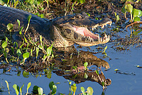 Close-up of a yacare caiman resting in the marsh, Brazil