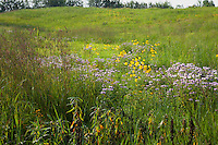 Late summer wildflowers in Minnesota prairie at Crow-Hassan Park, Big bluestem grass, Coneflowers, Bergamot