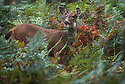 Blacktail Deer in thicket of ferns; Quinault area, Olympic National Park, Washington.