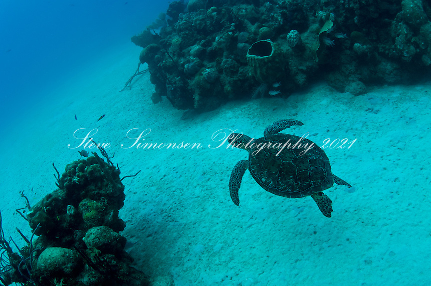 Turtle swimming along the bottom<br /> The Wall at Cane Bay, St. Croix, US Virrgin Islands