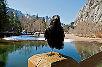 Winter scenes in Yosemite Valley located in the Yosemite National Park..A black raven sits on a bridge in the Yosemite Valley..