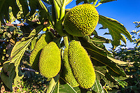 A close-up of breadfruit (or 'ulu), introduced by ancient Polynesians and a staple of the traditional Hawaiian diet, O'ahu.