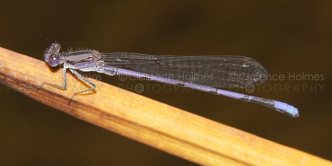 Variable Dancer (Argia fumipennis violacea) Damselfly - Male (Violet Dancer subspecies), Promised Land State Park, Greentown, Pike County, Pennsylvania