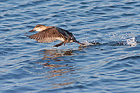 Ruddy Duck taking flight.