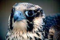BIRDS OF PREY<br /> Peregrine Falcon Headshot<br /> (Falco peregrinus)