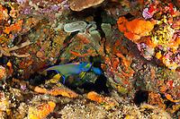 Reef scenic with Queen Angelfish<br /> Yellow Reef, Isla Desedheo