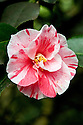 Camellia japonica 'Tricolor', mid March.