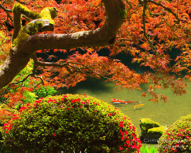 Group of koi in a pond framed by a japanese maple chris for Portland japanese garden koi