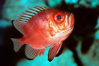 popeye catalufa (bigeye) (c), .Pristigenys serrula, .eastern Pacific Ocean.