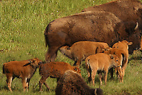 Bison (Bison bison) calves are born in early May in Yellowstone. By that time the bulls have wandered off away from the herd and lead generally solitary lives. The cows and calves collect into what is called a nursery herd as there is safety in numbers. Here it appears that at 5 calves have decided that one particular mother is worth waiting in line for!  In truth though, they each have their own to return to.  Blacktail Ponds, Yellowstone.