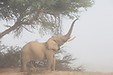 Namibia;  Namib Desert, Skeleton Coast, Hoanib River, desert elephant (Loxodonta africana) , feeding on acacia tree in fog