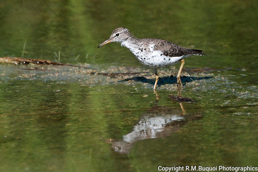 Spotted Sandpiper wading