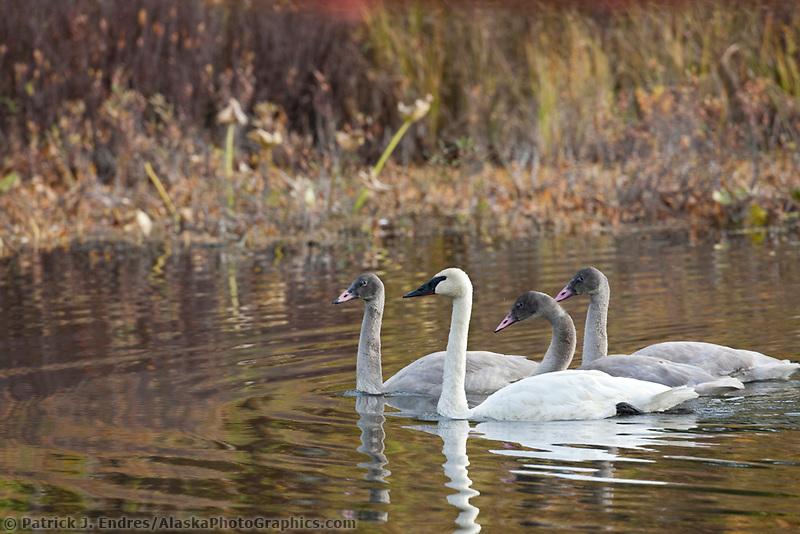 Trumpeter swan family on Fish lake, Talkeetna, Alaska.