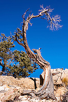 United States, Arizona, Grand Canyon. Trailview Overlook, the first lookout along the West Rim Drive. An old, withered tree.