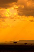 Acacia trees silhouetted at sunset, Masai Mara National Reserve, Kenya