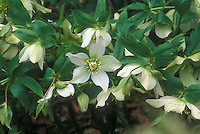 White flowers of hellebore Helleborus hybridus Hadspen Star GR20578