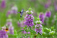 I was photographing Purple Horsemint (a springtime Texas Wildlfower) when a hummingbird came by looking for nectar. Fortunately, I had everything set to photograph this rare moment. The hummingbird posed, I took his picture, and he flew away.