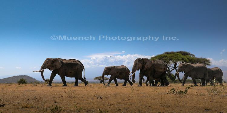 Elephants walking to water in Amboseli National Park, Mount Kilimanjaro in the distance, Kenya