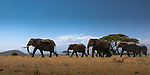 Elephants walking to water in Amboseli National Park, Mount Kilimanjaro in the distance, Kenya