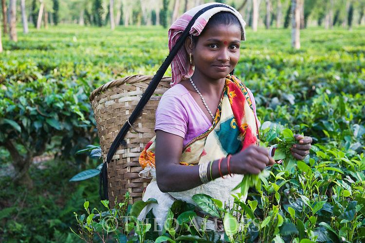 Woman harvesting lowland tea, Assam, India --- Model Released