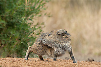 650520177 a baby javelina or collared peccary dicolytes tajacu on beto gutierrez ranch hidalgo county texas united states