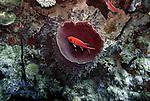 (2004)- Blackbar Soldierfish- Soufriere Scott's Head Marine Reserve,  Commonwealth of Dominica.