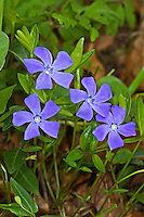 Kleines Immergrün, Vinca minor, Smaller Periwinkle