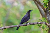 Purplish Jay (Cyanocorax cyanomelas), Pantanal, Mato Grosso, Brazil.