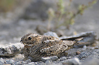 Lesser Nighthawk, Chordeiles acutipennis, female on nest with egg camouflaged, Lake Corpus Christi, Texas, USA