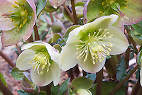 Hellebore 'Pink Frost' flowers with closeup of stamens and pistils, Helleborus x ballardiae Gold Collection&reg; Pink Frost.