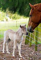 Shetland pony  foal meeting horse in neighbouring field, North Island, New Zealand