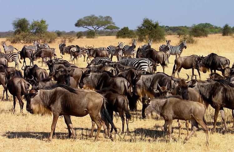 Migrating Blue Wildebeest and Common Plains Zebra (Grant's), Grumeti, Tanzania