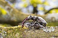 Hirschkäfer, Männchen und Weibchen, Paar, Pärchen, Paarung, Kopulation, Kopula, Hornschröter, Hirsch-Käfer, Lucanus cervus, Stag beetle, male and female, copulation, pairing, Schröter, Lucanidae, Stag beetles