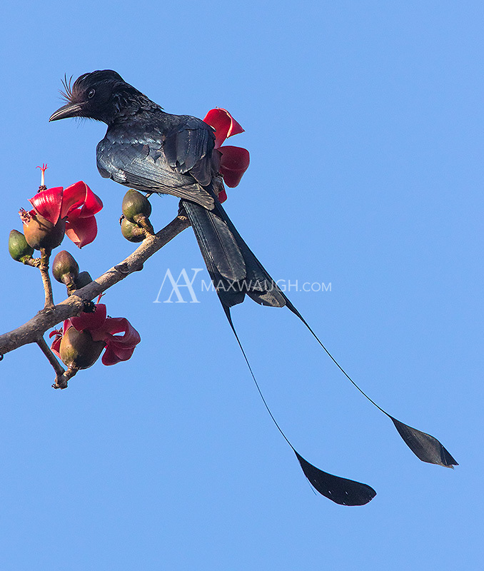 Not a great angle, but a nice view of the long tail of the Greater racket-tailed drongo.