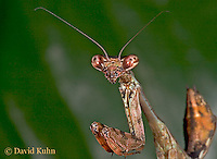 "0318-07nn  Budwing Mantis ""Nymph"" - Parasphendale agrionina ""Nymph"" © David Kuhn/Dwight Kuhn Photography"