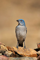 551130013 a wild  mexican jay alphelocoma wollweberi perches on a rock in madera canyon green valley arizona united states